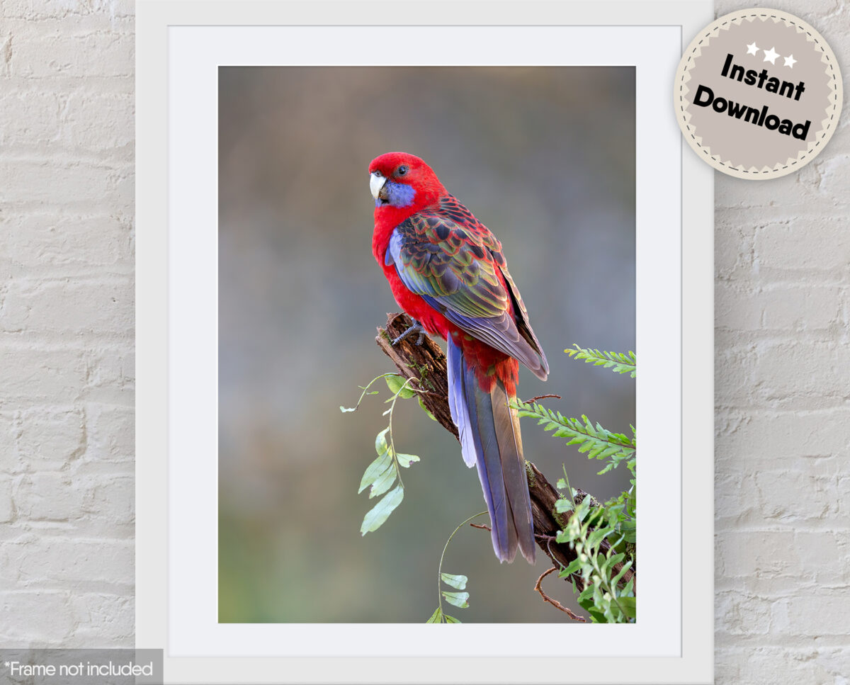 Crimson Rosella Digital File