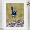 Supeerb Fairy-wren Digital Photo
