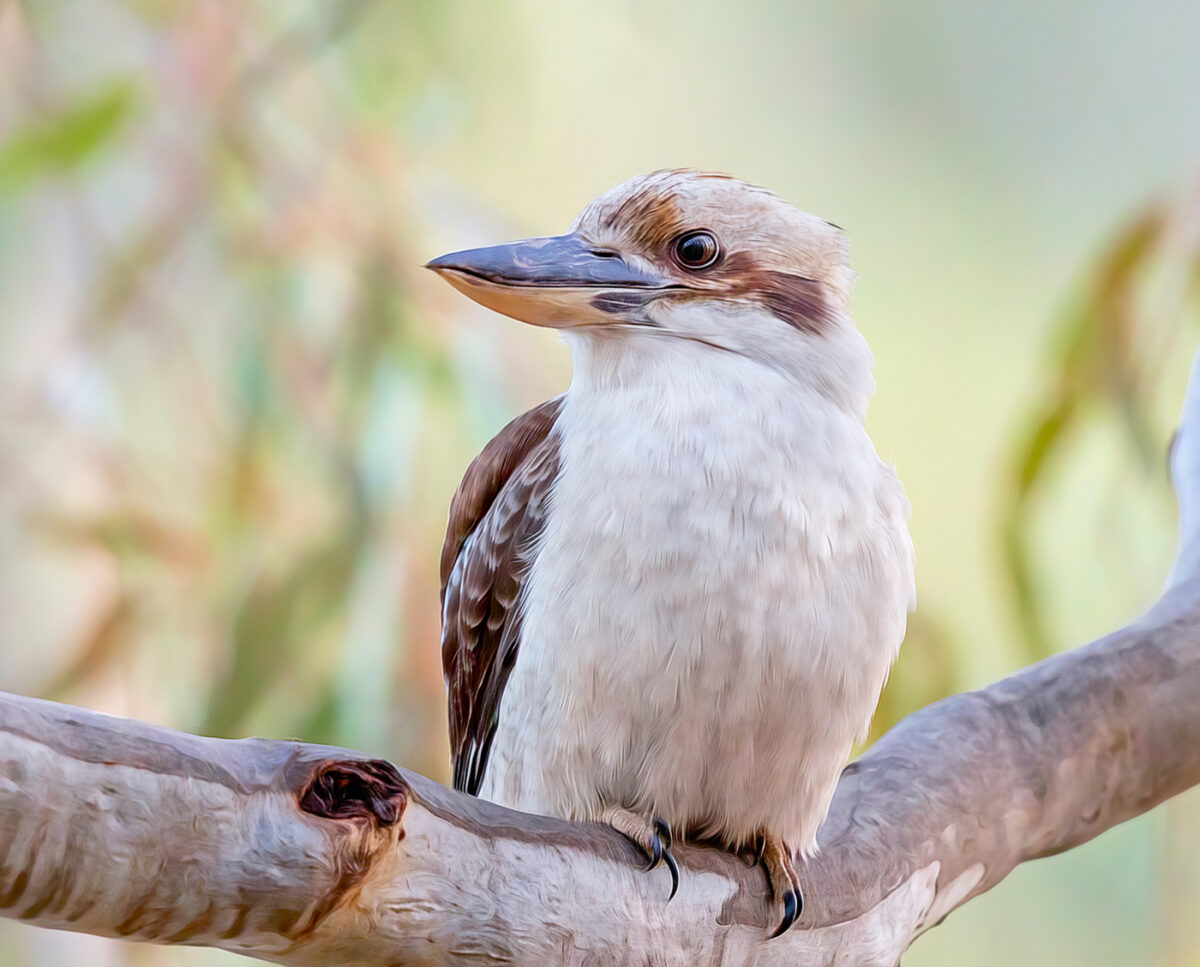 Laughing Kookaburra Close Up