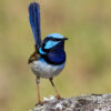 Superb Fairy-wren Close Up