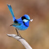 Splendid Fairy-wren Close Up