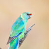 Mallee Ringneck Digital Art Close Up