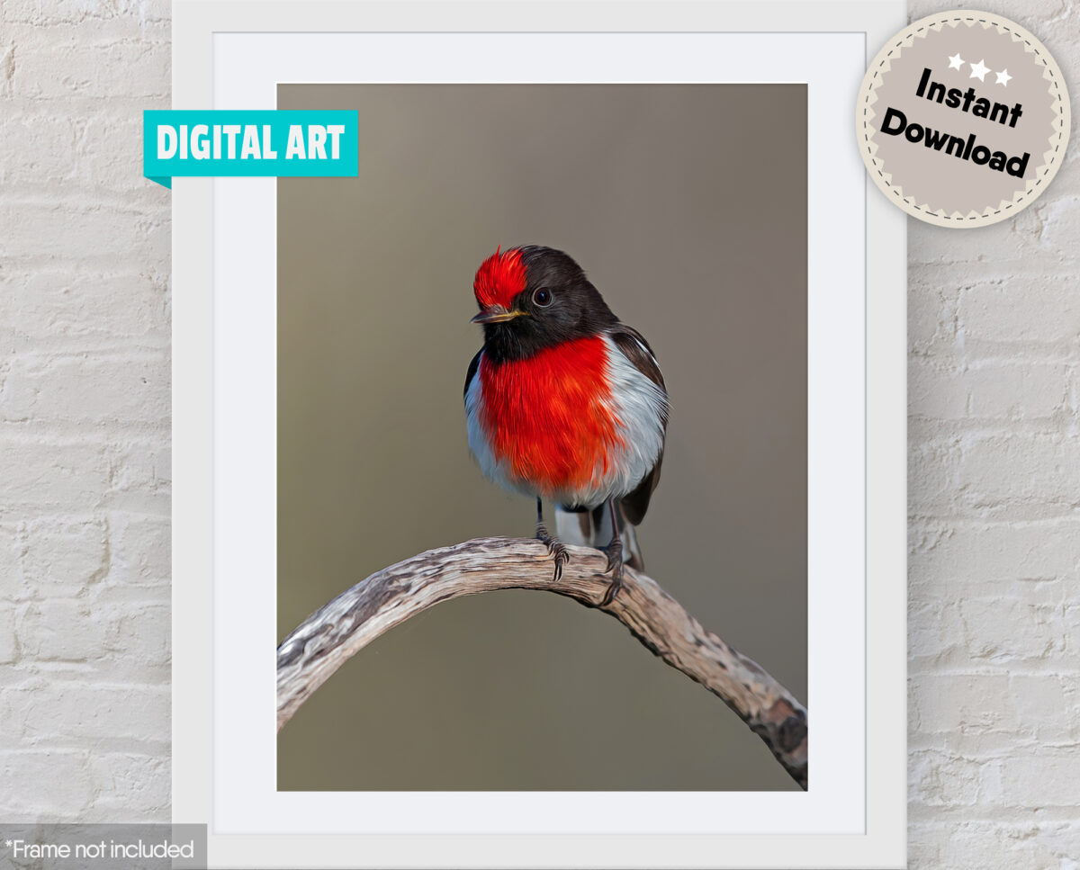 Red-capped Robin Digital Art