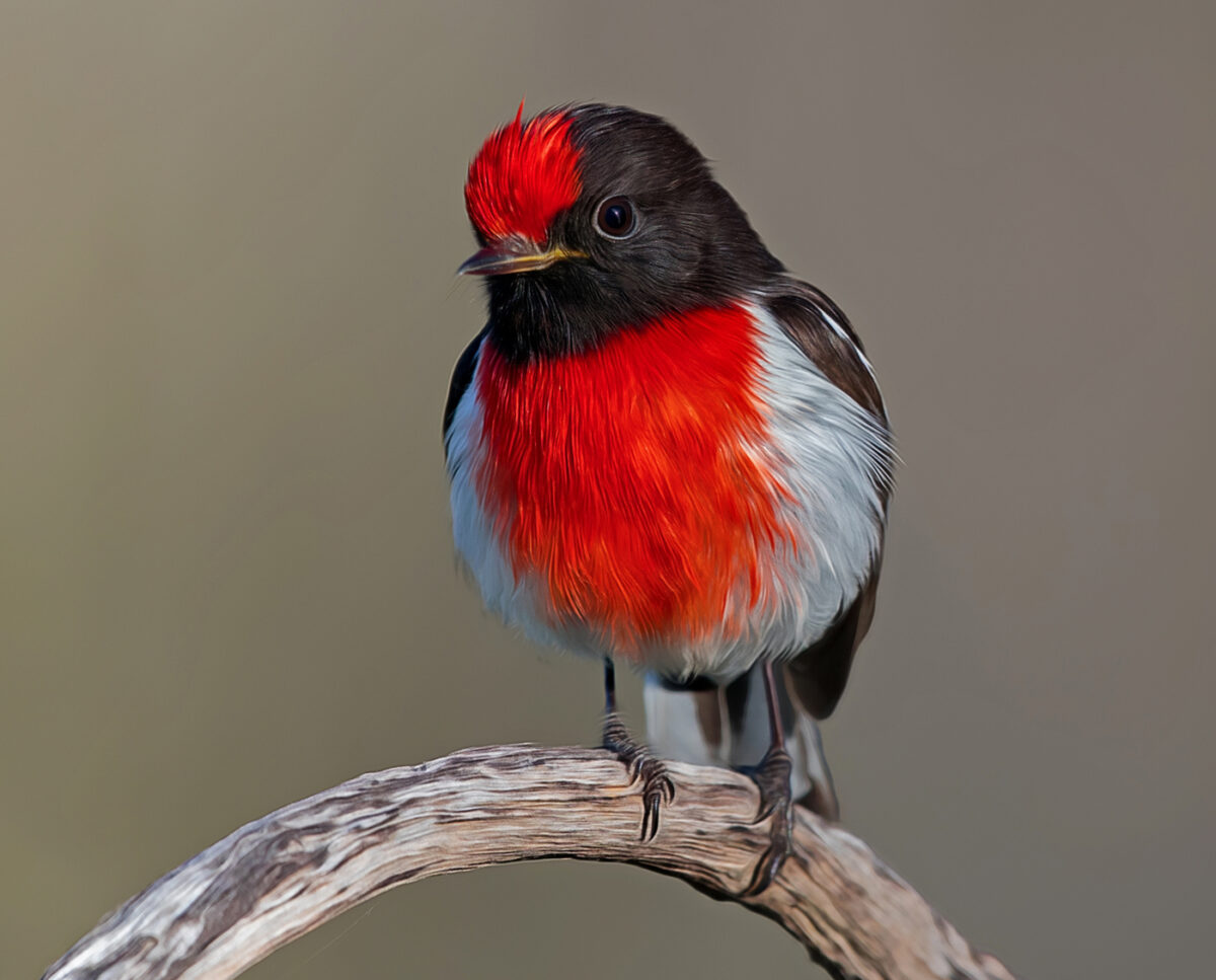 Red-capped Robin Digital Art Close Up