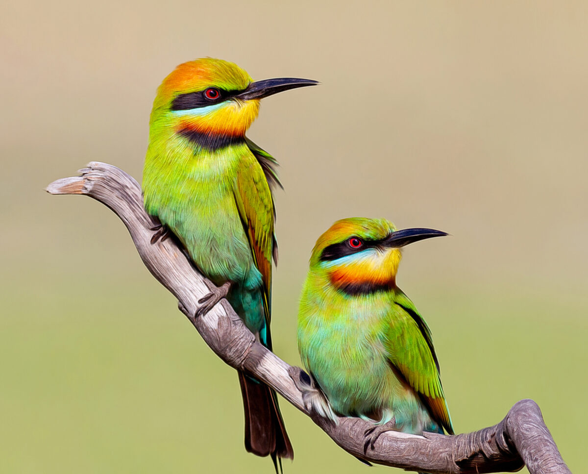 Rainbow Bee-eater Close Up