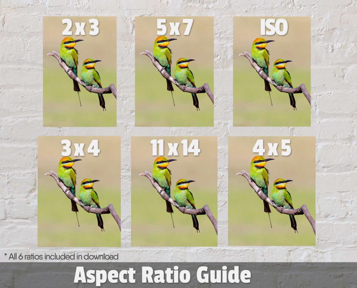 Rainbow Bee-eater Ratios