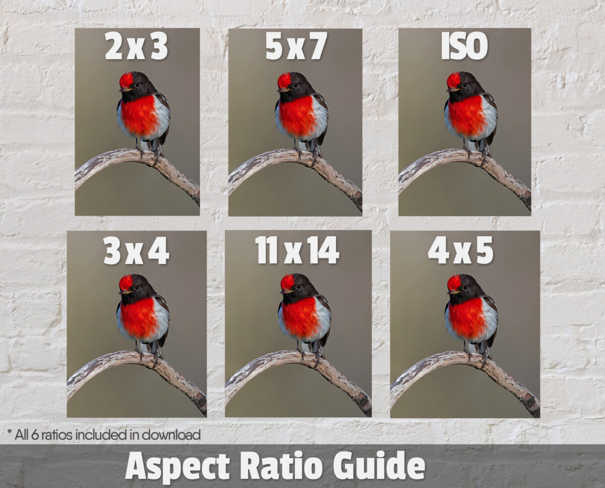 Red-capped Robin Digital Art Ratios