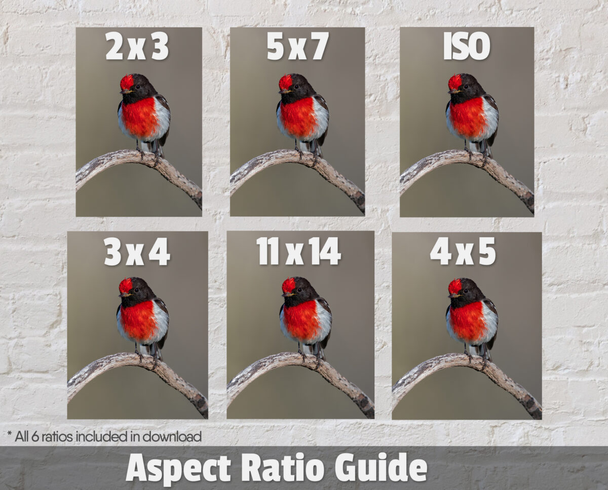Red-capped Robin Digital Photo Ratios